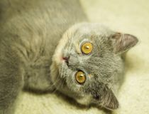 Beautiful gray scottish cat with yellow eyes lying on the carpet. With surprised eyes stock photos