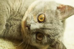 Beautiful gray scottish cat with yellow eyes lying on the carpet. With surprised eyes stock image