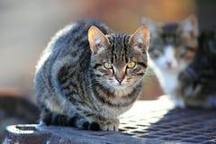 Beautiful gray Siberian cats Royalty Free Stock Photo