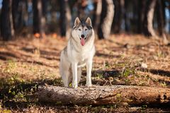 Beautiful gray Siberian Husky stands in the autumn forest with h stock photography