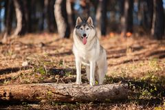Beautiful gray Siberian Husky stands in the autumn forest with h royalty free stock image