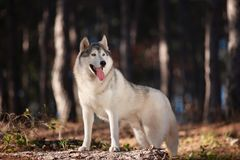Beautiful gray Siberian Husky stands in the autumn forest with his paws on the trunk of a fallen tree royalty free stock photos