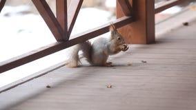 Fluffy gray squirrel gnaws walnut on floor of veranda stock video