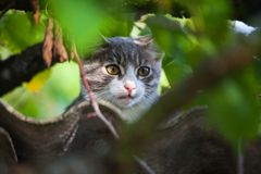 Beautiful gray tabby cat climbing down from a tree Stock Photography