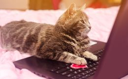 Beautiful gray tabby cat with a laptop with a heart. Funny pet. Pink background. Valentine`s Day and love. Selective focus.  royalty free stock photos
