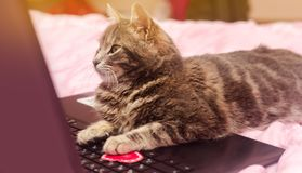 Beautiful gray tabby cat with a laptop with a heart. Funny pet. Pink background. Valentine`s Day and love. Selective focus.  stock images