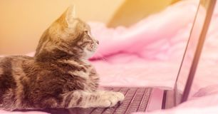 Beautiful gray tabby cat is lying with a laptop. Funny pet. Pink background. Selective focus.  stock photography
