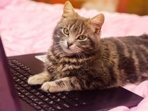 Beautiful gray tabby cat is lying with a laptop. Funny pet. Pink background. Selective focus.  royalty free stock photos