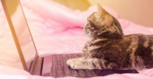Beautiful gray tabby cat is lying with a laptop. Funny pet. Pink background. Selective focus.  royalty free stock photography