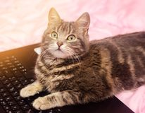 Beautiful gray tabby cat is lying with a laptop. Funny pet. Pink background. Selective soft focus.  royalty free stock image
