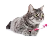 Beautiful gray tabby cat with toothbrush. On white background royalty free stock photography