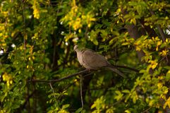 Beautiful gray turtledove standing on branch. Turtledove standing in the tree's edge.Bird royalty free stock photo