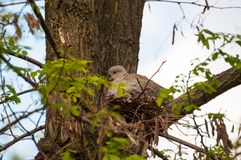 Beautiful gray turtledove standing on branch. Turtledove standing in the tree& x27;s edge stock image