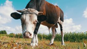 Beautiful Gray and White Bull Grazing on Meadow on Sky Background. Slow Motion stock footage