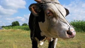 Beautiful Gray and White Bull Grazing on Meadow on Sky Background and Smelling the Camera stock video