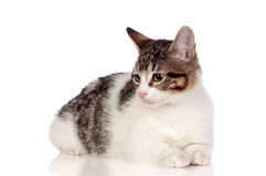 Beautiful gray and white cat Stock Images