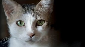 Beautiful gray and white cat Royalty Free Stock Photos
