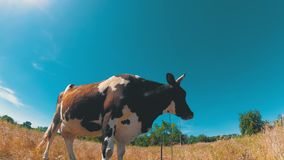 Beautiful Gray and White Cow Grazing on a Meadow on Blue Sky Background stock video footage