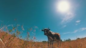 Beautiful Gray and White Cow Grazing on a Meadow on Blue Sky Background stock video