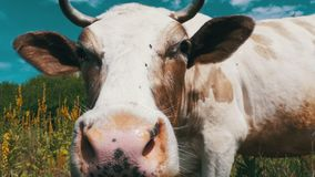 Beautiful Gray and White Cow Grazing on a Meadow on Sky Background. Slow Motion stock footage