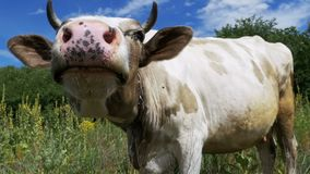 Beautiful Gray and White Cow Grazing on Meadow and Smelling the Camera on Sky Background. Slow Motion stock footage