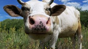 Beautiful Gray and White Cow Grazing on Meadow and Smelling the Camera on Sky Background. Slow Motion stock video