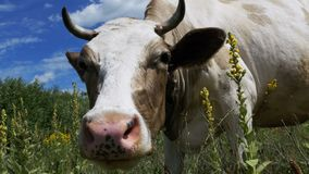 Beautiful Gray and White Cow Grazing on Sky Background and Smelling the camera stock video footage