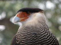 Beautiful gray and white eagle Stock Images