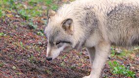 Beautiful gray wolf royalty free stock images