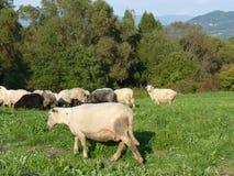 Beautiful grazing flock of sheep at sunset royalty free stock photo