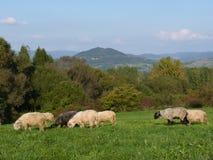 Beautiful grazing flock of sheep at sunset Royalty Free Stock Photos