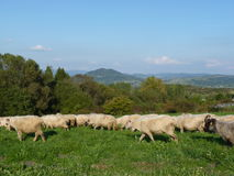 Beautiful grazing flock of sheep at sunset royalty free stock photography