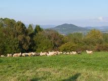 Beautiful grazing flock of sheep at sunset royalty free stock image