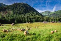 Beautiful grazing herd of sheep at dawn, Tatra Mountains Royalty Free Stock Photos