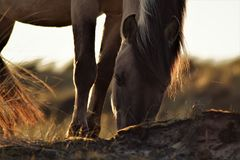 Beautiful grazing horse in the dunes stock photography