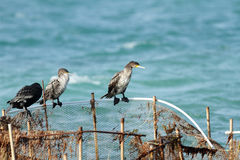 Beautiful great Cormorants Royalty Free Stock Photos