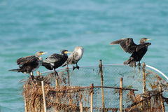 Beautiful great Cormorants sitting on fishing net Royalty Free Stock Photo
