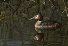 A beautiful Great crested Grebe, Podiceps cristatus, swimming in a stream with its reflection showing in the water. A Great crested Grebe, Podiceps cristatus stock photos
