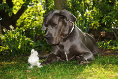 Beautiful Great Dane dog with chick Stock Image