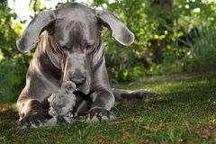 Beautiful Great Dane dog with gray chick Stock Photography