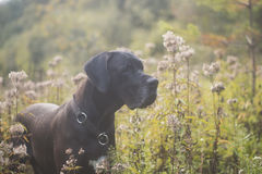 Beautiful Great Dane dog in a high meadow Royalty Free Stock Image