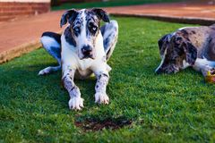 Beautiful Great Dane Laying Down. A Great Dane mother and son enjoying the sun outdoors laying down together. Dogs are mans best friend stock image