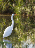 Beautiful great egret Stock Image