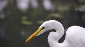 Beautiful Great Egret by the water stock video