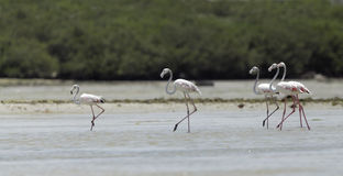 Beautiful great flamingo moving during low tide Royalty Free Stock Image