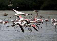 Beautiful great flamingos flying in flock, Bahrain Royalty Free Stock Images
