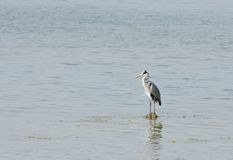 Beautiful great grey heron standing still in water Royalty Free Stock Photos