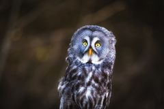 A beautiful Great Grey Owl. A close up of a beautiful great grey owl in summer stock images