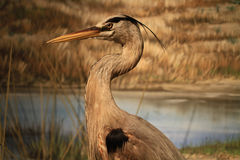 Beautiful Great Heron Stock Image