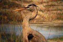 Beautiful great heron Stock Image
